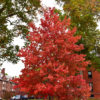 Bowhall Maple