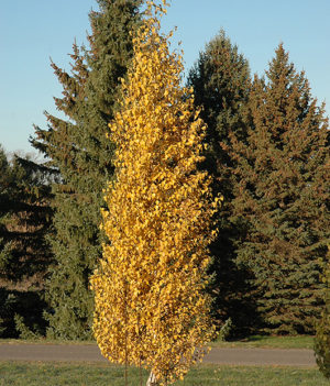Dakota Pinnacle Birch