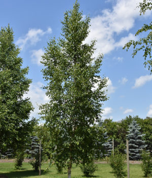 Prairie Dream Birch