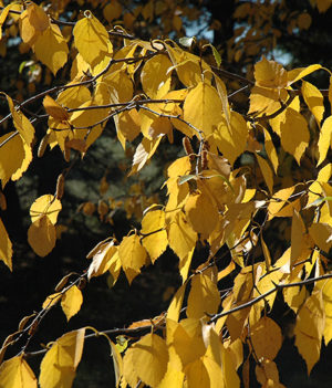 Prairie Dream Birch in Fall