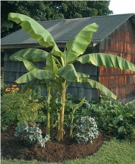 Hardy Banana