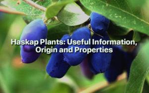 Haskap Plants: Useful Information, Origin and Properties