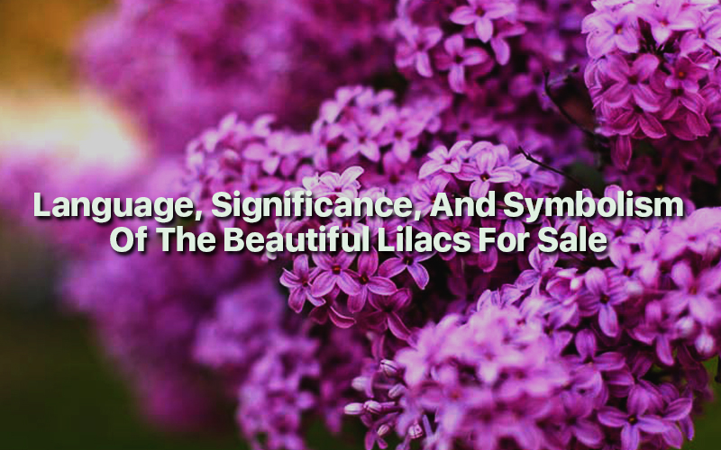 Language, Significance And Symbolism Of The Beautiful Lilacs For Sale