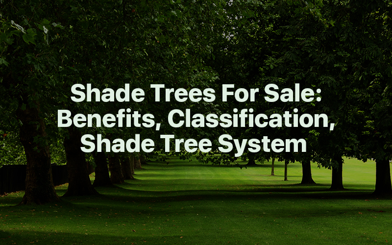 Shade Trees For Sale: Benefits, Classification, Shade Tree System