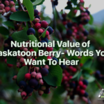 saskatoon-berries-for-sale